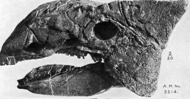 EH Science: Ankylosaurus_skull, By William Diller Matthew (1871-1930)