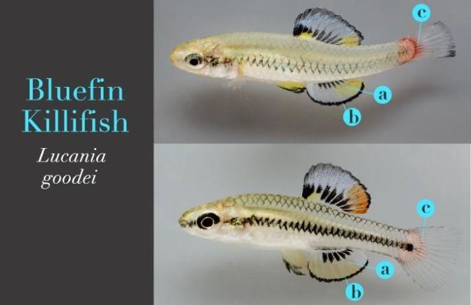 Bluefin Killifish, L. Brian Stauffer