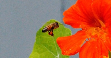 Honey bee gathering pollen (EH Science)