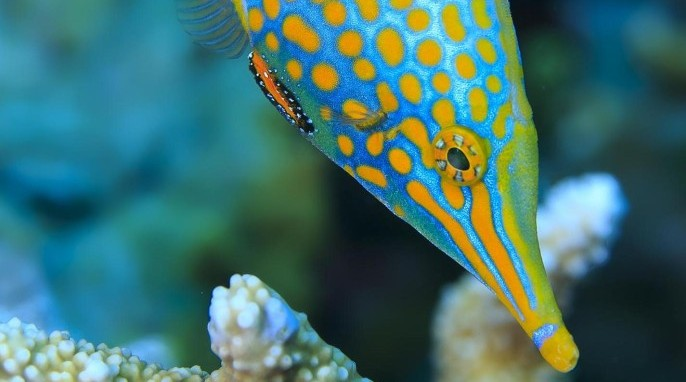 Harlequin filefish can disguise their smell to confuse predators (Tane Sinclair-Taylor)