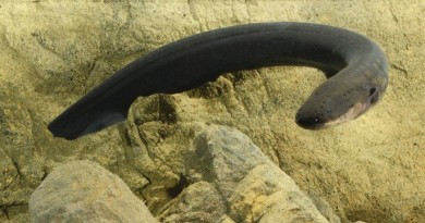 Electric eels deliver Taser-like shocks (Kenneth Catania, Vanderbilt University)