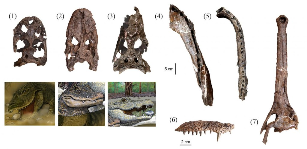 Seven different species of prehistoric crocodile lived together 13 million years ago in the Pebas Formation in what is now the Amazon Basin of northeastern Peru. Their skull and jaw fossils: (1) Gnatusuchus pebasensis, (2) Kuttanacaiman iquitosensis, (3) Caiman wannlangstoni, (4) Purussaurus neivensis, (5)Mourasuchus atopus, (6) Pebas Paleosuchus, and (7) Pebas gavialoid. (© Rodolfo Salas-Gismondi)