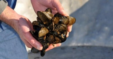 Oysters, clams, and mussels in Oregon and Washington are showing the effects of ocean acidification (Oregon State University)