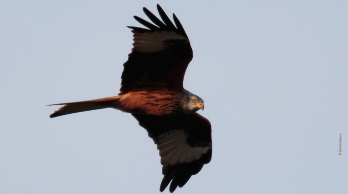 Red Kite (Steven Spence)
