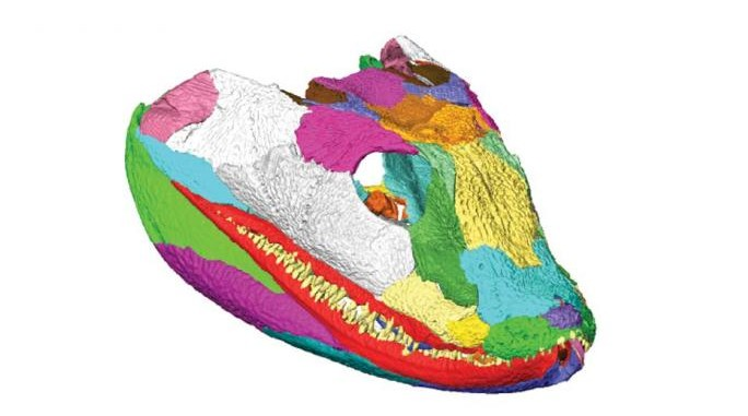 """3D reconstruction of the tetrapod skull. Top image: Right facial skeleton and skull roof shown in """"exploded"""" view to show how the bones fit together. Center image: Left side of the cranium (braincase omitted) is shown in internal view. Bottom image: Right lower jaw in """"exploded"""" view to illustrate sutural morphology. Individual bones shown in various colors. (Porro et al.)"""
