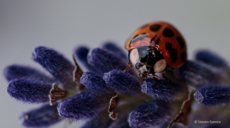 Ladybird on lavender