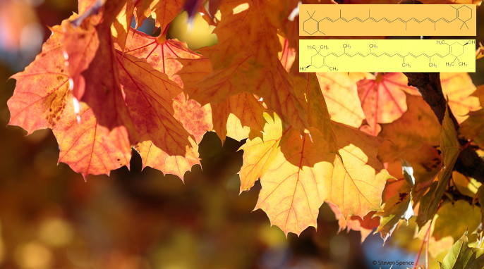 Why do autumn leaves change color? Yellows = xanthophylls. Oranges = carotenes. Beta Carotene [C40Hx] (NEUROtiker) and Zeaxanthin [a xanthophyll] (NEUROtiker).