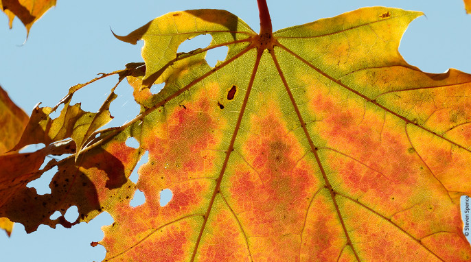 Autumn Leaves: Fluid exchange is greatly reduced. Only the green areas are receiving fluid and chlorophyll from the tree