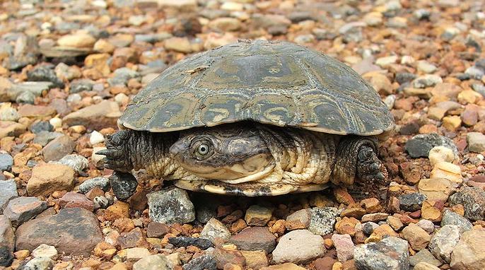 Turtles: A Sideneck Turtle photo by Johannes van Rooyen (Own work) [Public domain], via Wikimedia Commons