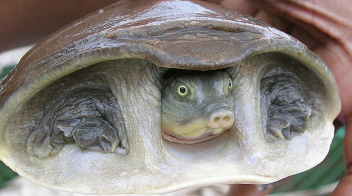 """Turtles: A Hidden Neck Turtle: Indian flapshell turtle (Lissemys punctata)"""" photo by L. Shyamal, animal courtesy Saleem Hameed. Creative Commons License;Wikimedia"""""""