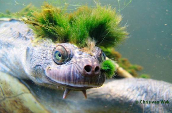 Mary river turtle algae - photo#5