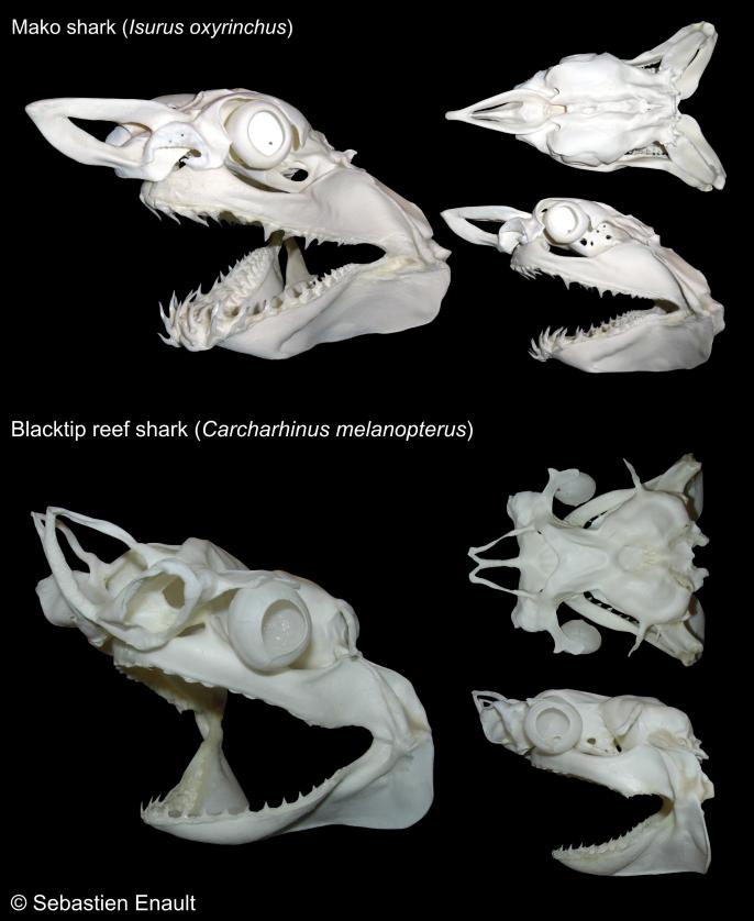 Chondrichthyan skulls: mako shark (Isurus oxyrhinchus) and blacktip reef shark (Carcharhinus melanopterus) skeleton