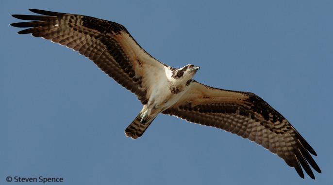 Osprey: Bird of Many Names