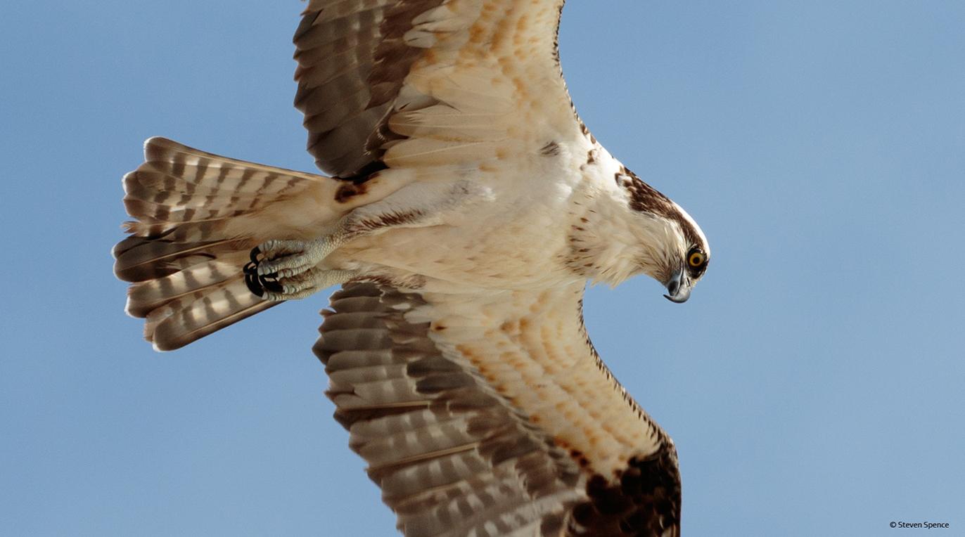Osprey Bird Of Many Names Gotscience Org