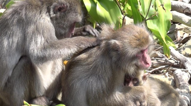 Female Japanese macaques at the center of their social network had less lice thanks to the extra grooming they receive from their many friends. This was especially true during winter when macaques mate and during summer when they give birth. Photo by Julie Duboscq/Kyoto University