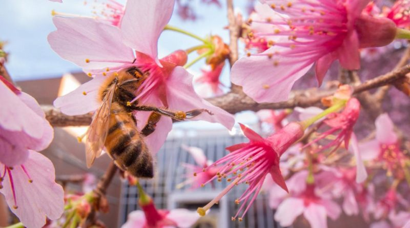 Research from North Carolina State University finds that bees in urban areas stick to a flower nectar diet, steering clear of processed sugars found in soda and other junk food. (Lauren Nichols)