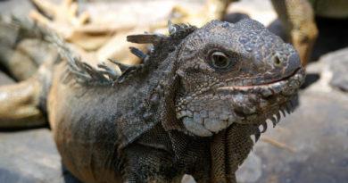 Galapagos iguana. Frank Am Main