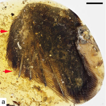 Anterior margin of wing showing primary feathers. Red arrows correspond to position of claws, which are totally hidden by feathers from this view. Xing et al. (2016), supplementary figure 8a. Images licensed under a Creative Commons Attribution 4.0 International License.