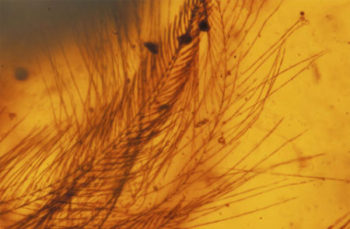 ancient bird wing found in amber