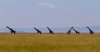 DNA Analysis Reveals Four Distinct Giraffe Species