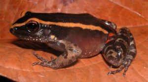 Amazonian Frog Uses Mimicry to Ward Off Ants