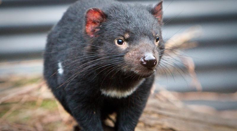 Tasmanian Devils Fight Facial Cancer