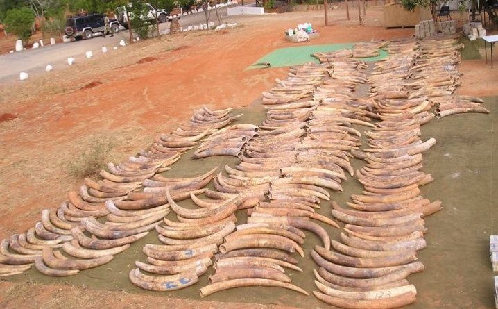 Seized Ivory Traced to Recently Slaughtered Elephants