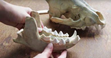 Shelf Life Video: Fossils in the Gobi Desert