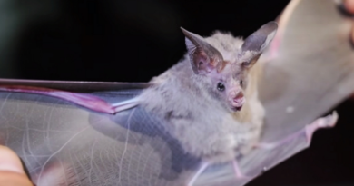 Bats, Cuba