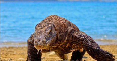 Komodo Dragon Blood Inspires Alternative Antibiotic